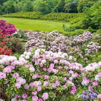 21世紀の森・紀伊半島森林植物公園に咲き乱れる石楠花
