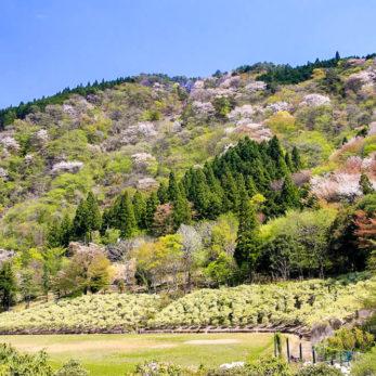 21世紀の森・紀伊半島森林植物公園内の桜
